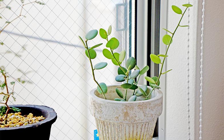 隣の鉢は「グリーンドラム」。まるっとした葉の表情がとてもチャーミング。並べるだけで窓際の個性を演出できる(撮影/小野洋平)