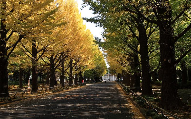 日吉の銀杏並木(写真/PIXTA)