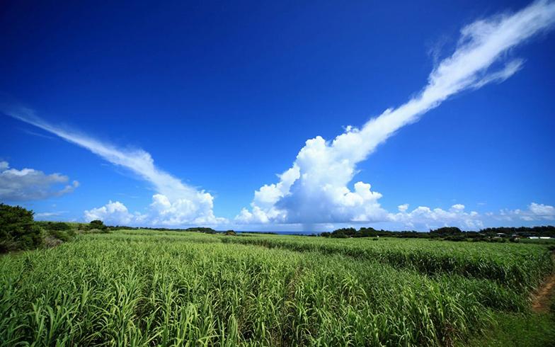 笠利サトウキビ畑(写真提供/奄美市)