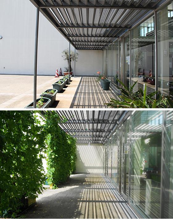 三郷市立ピアラシティ交流センターの窓辺の様子。左はグリーンカーテンが育つ前、右は成長後。体感温度だけでなく見た目の涼しさも大きく異なる(上・写真撮影/SUUMOジャーナル編集部、下・画像提供/日比谷花壇)