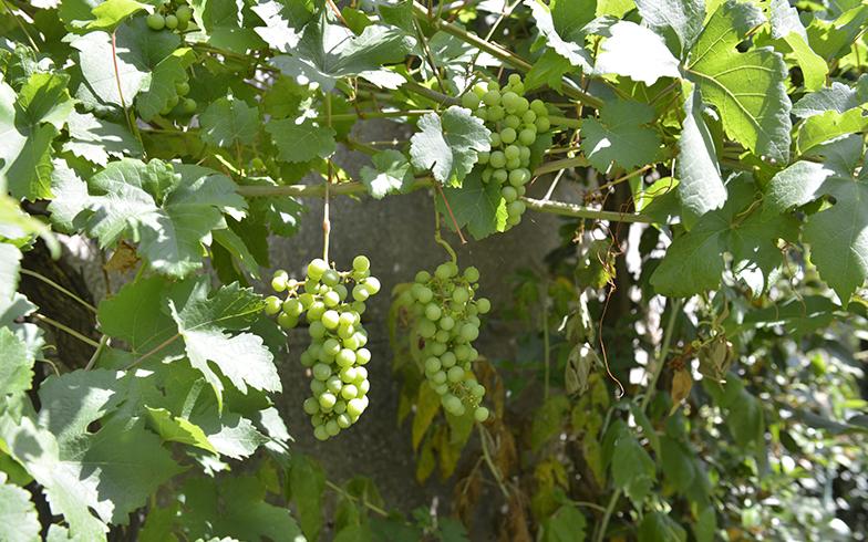 純子さん一家は毎年できるブドウを楽しみにしています(写真撮影/Manabu Matsunaga)