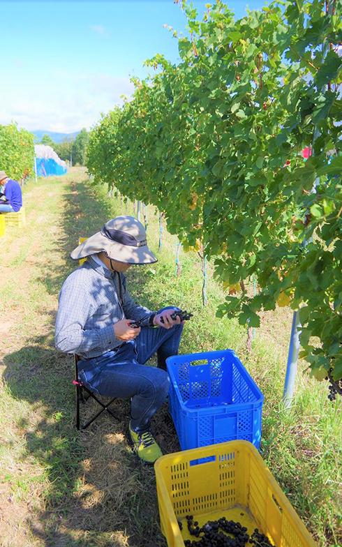 今日は、ワインアカデミーで知り合った、長野県東御市在住の葡萄農家の方の畑で収穫のお手伝い(画像提供/妻)