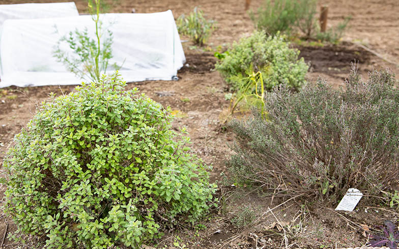 手前はハーブ。奥の防寒対策をした苗シートの中で、キャベツなどの野菜の栽培にチャレンジ(写真撮影/片山貴博)