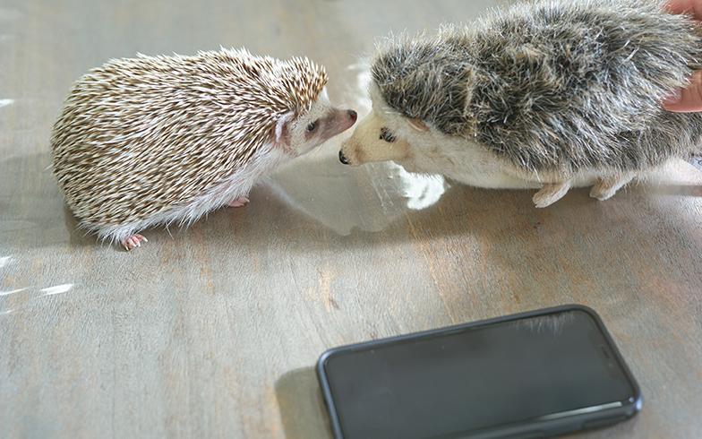 ぬいぐるみ(右)のハリネズミとご対面。なんだこいつ……?と思っているとか、いないとか(撮影/相馬ミナ)