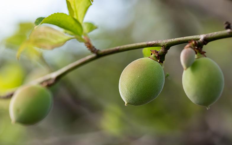 江幡さんの家の隣家に住むおじいちゃん(90代)の庭に生った梅の実。時期がきたら収穫して梅ジャム→「空家スイーツ」に変身(撮影/片山貴博)