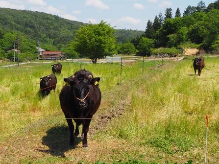 牛の水田放牧(広島県三次市)。水田と荒廃農地を電気柵で囲い、和牛繁殖牛を放牧して飼育。それにより、飼料の節約、土壌改良、鳥獣被害の防止などの効果を期待している(写真/農林水産省「荒廃農地の現状と対策」(2021年7月))