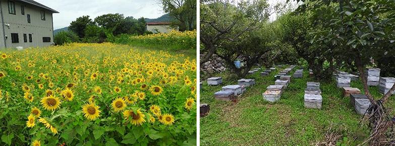 耕作放棄地のお花畑化による養蜂(山梨県甲府市)。原野化した耕作放棄地を、ミツバチのための花畑(ヒマワリ、レンゲ、ソバなど蜜源植物を植える)に変え、蜂蜜生産をめざす。大学、養蜂家、種苗会社などが協力(写真/農林水産省「荒廃農地の現状と対策」(2021年7月))