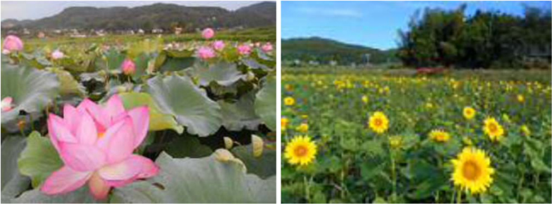 荒廃農地に花を植え、農村景観を向上(宮城県白石市)。農業者の高齢化、後継者不足で管理が困難になった水田地帯に、ハス、ヒマワリ、ポピー、雑草抑制芝などを植え、荒廃化を防ぐとともに美しい農村景観を構築した(写真/農林水産省「荒廃農地の現状と対策」(2021年7月))