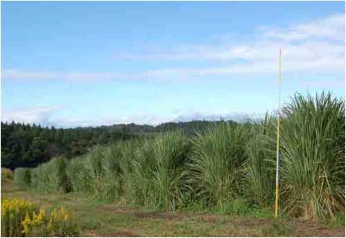 バイオマスペレット燃料の地域自給(栃木県さくら市)。荒廃農地にイネ科多年草のエリアンサスを栽培、これを原料にバイオマスペレット燃料を製造し、さくら市の運営する温泉施設の燃料の一部として供給している(写真/農林水産省「荒廃農地の現状と対策」(2021年7月))